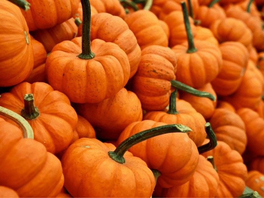 Best Pumpkin Patches In Georgia Mini Pumpkins.
