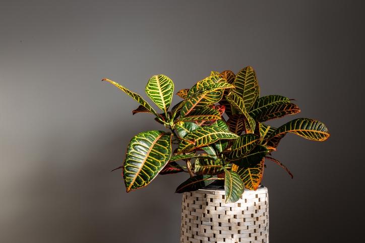 Growing Croton Plants Indoor