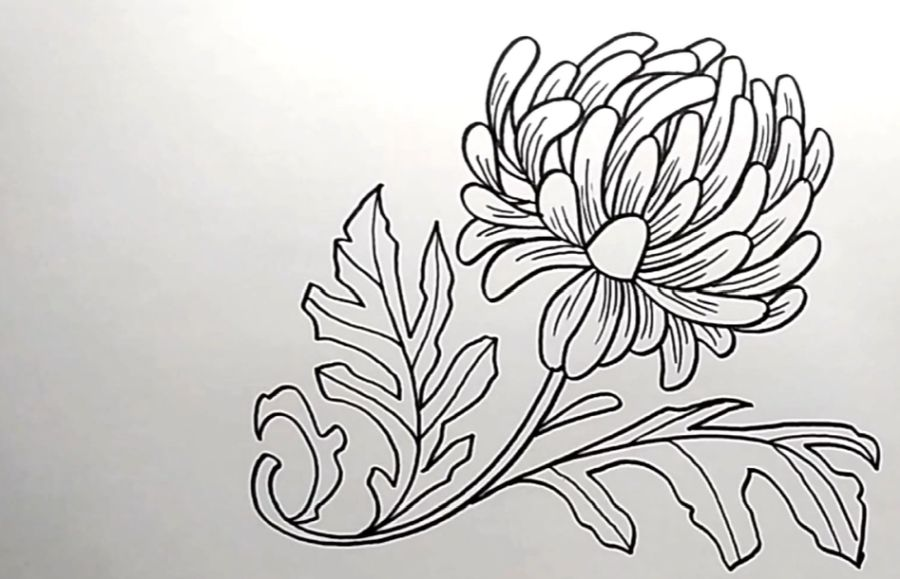 Chrysanthemum flower to draw