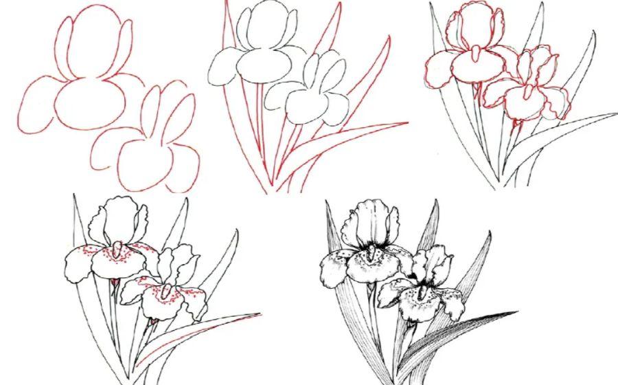 Iris steps to draw