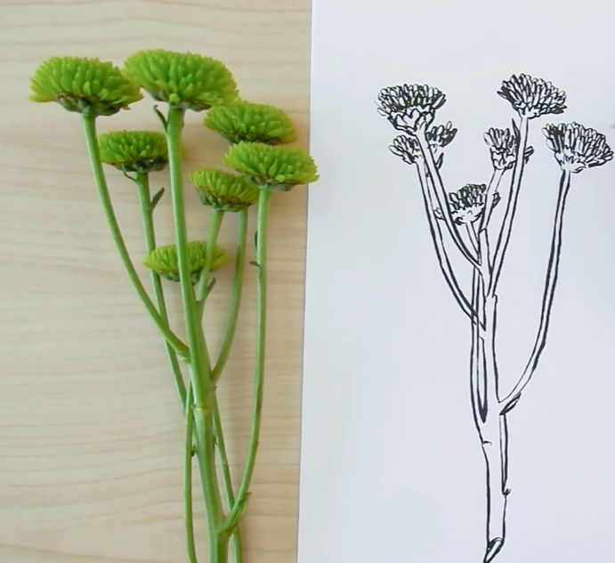 How to draw mums flowers